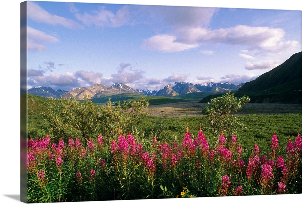 Large Solid-Faced Canvas Print Wall Art Print 30 x 20 entitled Fireweed Alaska Range Denali Solid-Faced Canvas Print entitled Fireweed Alaska Range Denali.  Multiple sizes available.  Primary colors within this image include Fuschia, Sky Blue, Black, Dark Forest Green.  Made in USA.  All products come with a 365 day workmanship guarantee.  Archival-quality UV-resistant inks.  Canvas depth is 1.25 and includes a finished backing with pre-installed hanging hardware.  Archival inks prevent fading and preserve as much fine detail as possible with no over-saturation or color shifting.