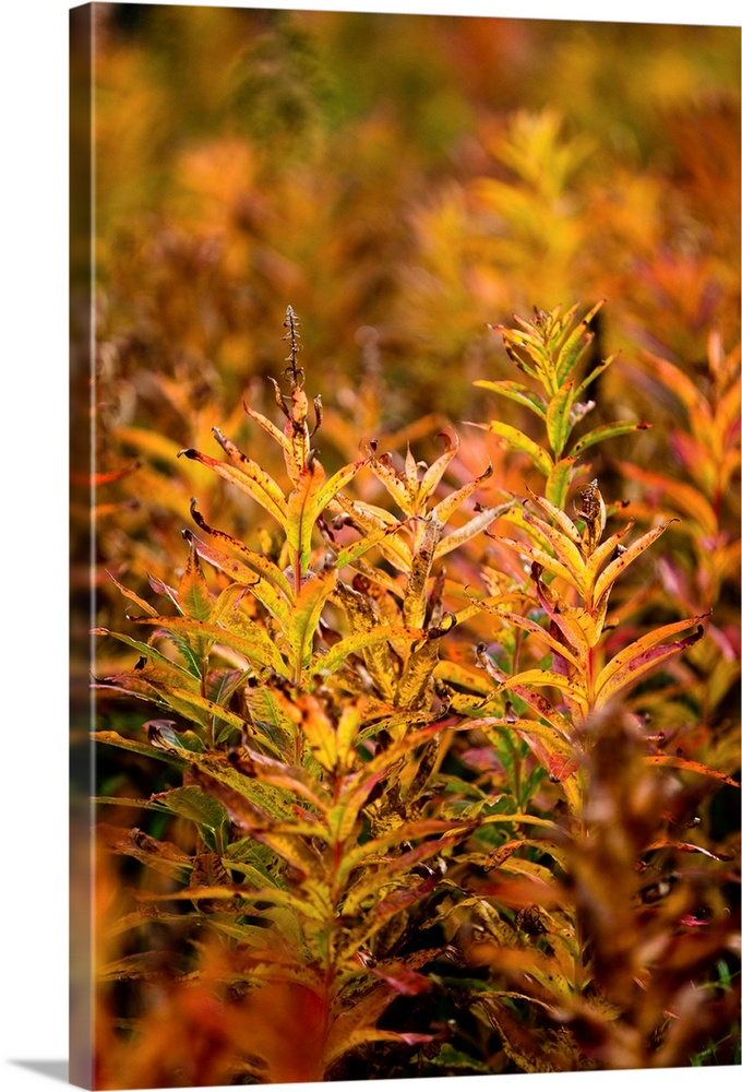Large Solid-Faced Canvas Print Wall Art Print 20 x 30 entitled Fireweed with Autumn colors, Kodiak Island, Southwest Alaska Solid-Faced Canvas Print entitled Fireweed with Autumn colors, Kodiak Island, Southwest Alaska.  Multiple sizes available.  Primary colors within this image include Orange, Brown, Black.  Made in the USA.  Satisfaction guaranteed.  Archival-quality UV-resistant inks.  Canvas depth is 1.25 and includes a finished backing with pre-installed hanging hardware.  Archival inks prevent fading and preserve as much fine detail as possible with no over-saturation or color shifting.