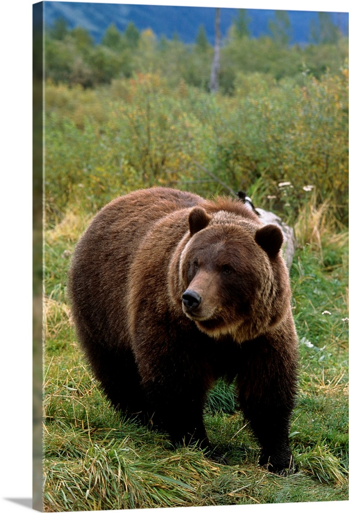 Large Solid-Faced Canvas Print Wall Art Print 20 x 30 entitled Grizzly bear at the Alaska Wildlife Conservation Center Alaska Solid-Faced Canvas Print entitled Grizzly bear at the Alaska Wildlife Conservation Center Alaska.  Multiple sizes available.  Primary colors within this image include Brown, Black, Light Gray, Gray Blue.  Made in the USA.  All products come with a 365 day workmanship guarantee.  Archival-quality UV-resistant inks.  Archival inks prevent fading and preserve as much fine detail as possible with no over-saturation or color shifting.  Canvas is handcrafted and made-to-order in the United States using high quality artist-grade canvas.