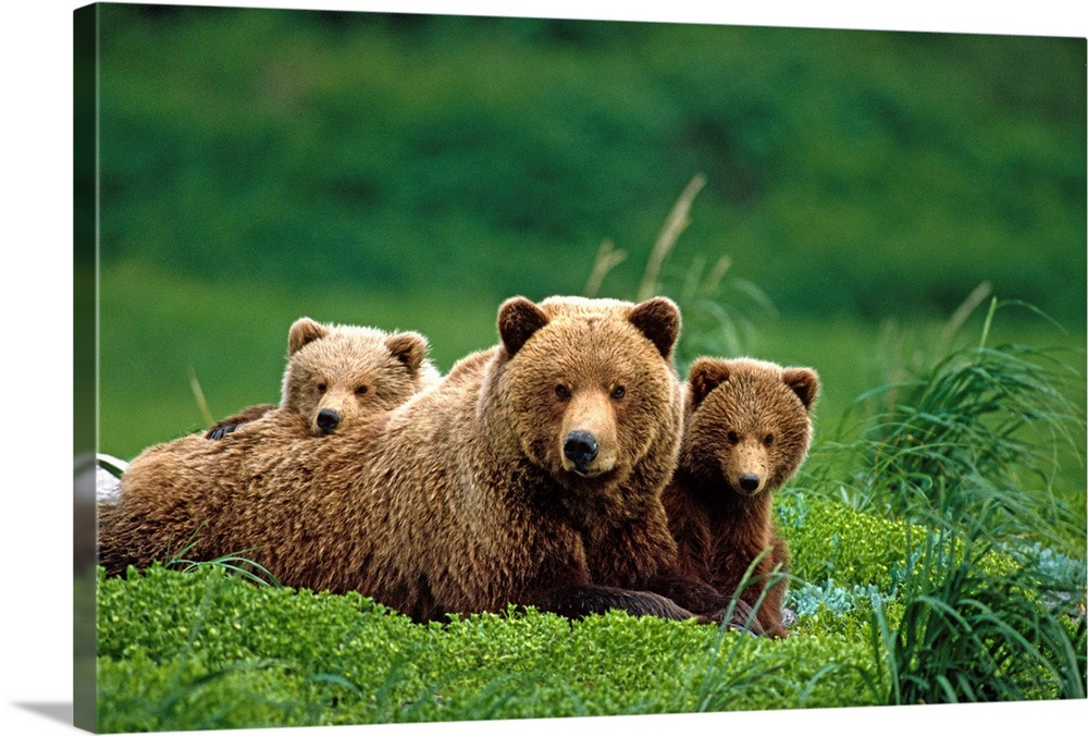 Large Gallery-Wrapped Canvas Wall Art Print 24 x 16 entitled Grizzly bear mother and cubs lay in field Gallery-Wrapped Canvas entitled Grizzly bear mother and cubs lay in field.  Multiple sizes available.  Primary colors within this image include Peach Dark Forest Green.  Made in USA.  Satisfaction guaranteed.  Archival-quality UV-resistant inks.  Canvas is acid-free and 20 millimeters thick.  Canvases have a UVB protection built in to protect against fading and moisture and are designed to last for over 100 years.