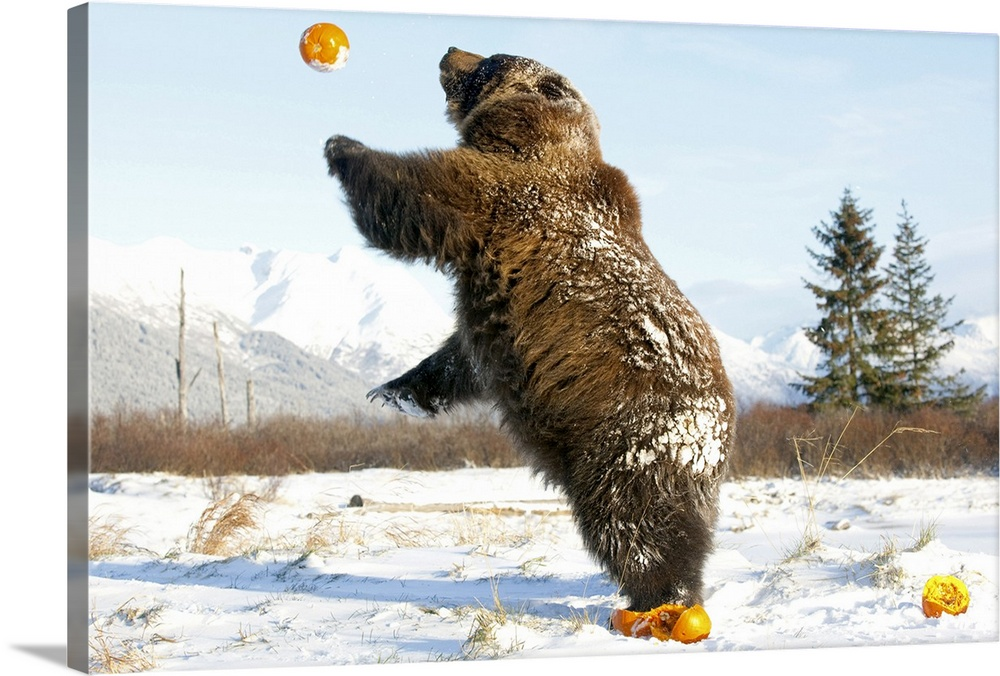 Large Solid-Faced Canvas Print Wall Art Print 30 x 20 entitled Grizzly plays with pumpkins by throwing them in the air Solid-Faced Canvas Print entitled Grizzly plays with pumpkins by throwing them in the air.  Grizzly plays with pumpkins by throwing them in the air at the Alaska Wildlife Conservation Center, Southcentral Alaska during Winter.  Multiple sizes available.  Primary colors within this image include Orange, Brown, Black, Pale Blue.  Made in the USA.  Satisfaction guaranteed.  Inks used are latex-based and designed to last.  Featuring a proprietary design, our canvases produce the tightest corners without any bubbles, ripples, or bumps and will not warp or sag over time.  Canvas depth is 1.25 and includes a finished backing with pre-installed hanging hardware.