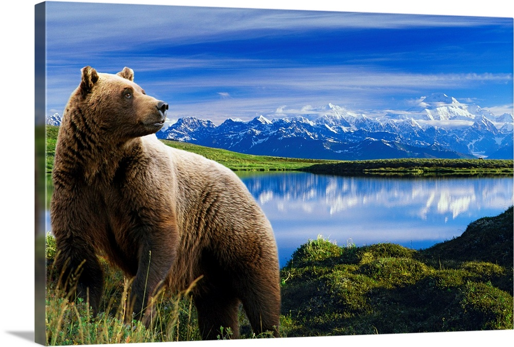 Large Solid-Faced Canvas Print Wall Art Print 30 x 20 entitled Grizzly stands in front of lake with Mt. Mckinley in the ba... Solid-Faced Canvas Print entitled Grizzly stands in front of lake with Mt. Mckinley in the background, Alaska.  Multiple sizes available.  Primary colors within this image include Sky Blue, Black, Muted Blue, Dark Forest Green.  Made in the USA.  All products come with a 365 day workmanship guarantee.  Archival-quality UV-resistant inks.  Canvas depth is 1.25 and includes a finished backing with pre-installed hanging hardware.  Featuring a proprietary design, our canvases produce the tightest corners without any bubbles, ripples, or bumps and will not warp or sag over time.