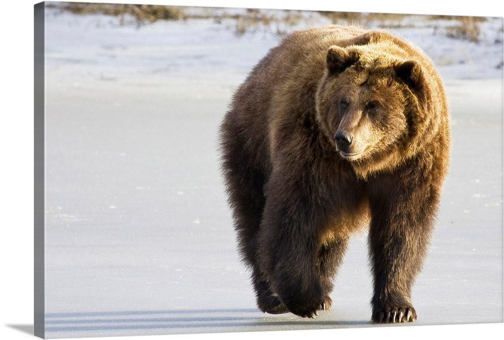 Large Solid-Faced Canvas Print Wall Art Print 30 x 20 entitled Grizzly walking in snow at the Alaska Wildlife Conservation... Solid-Faced Canvas Print entitled Grizzly walking in snow at the Alaska Wildlife Conservation Center.  Multiple sizes available.  Primary colors within this image include Peach, Dark Gray.  Made in the USA.  All products come with a 365 day workmanship guarantee.  Archival-quality UV-resistant inks.  Archival inks prevent fading and preserve as much fine detail as possible with no over-saturation or color shifting.  Featuring a proprietary design, our canvases produce the tightest corners without any bubbles, ripples, or bumps and will not warp or sag over time.