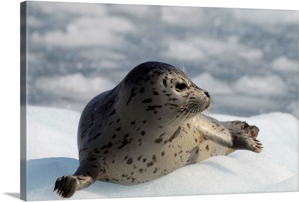 Large Solid-Faced Canvas Print Wall Art Print 30 x 20 entitled Harbor seal lying on iceberg in Prince William Sound, Alaska Solid-Faced Canvas Print entitled Harbor seal lying on iceberg in Prince William Sound, Alaska.  Multiple sizes available.  Primary colors within this image include Black, Gray, Silver.  Made in USA.  Satisfaction guaranteed.  Inks used are latex-based and designed to last.  Archival inks prevent fading and preserve as much fine detail as possible with no over-saturation or color shifting.  Canvas is handcrafted and made-to-order in the United States using high quality artist-grade canvas.