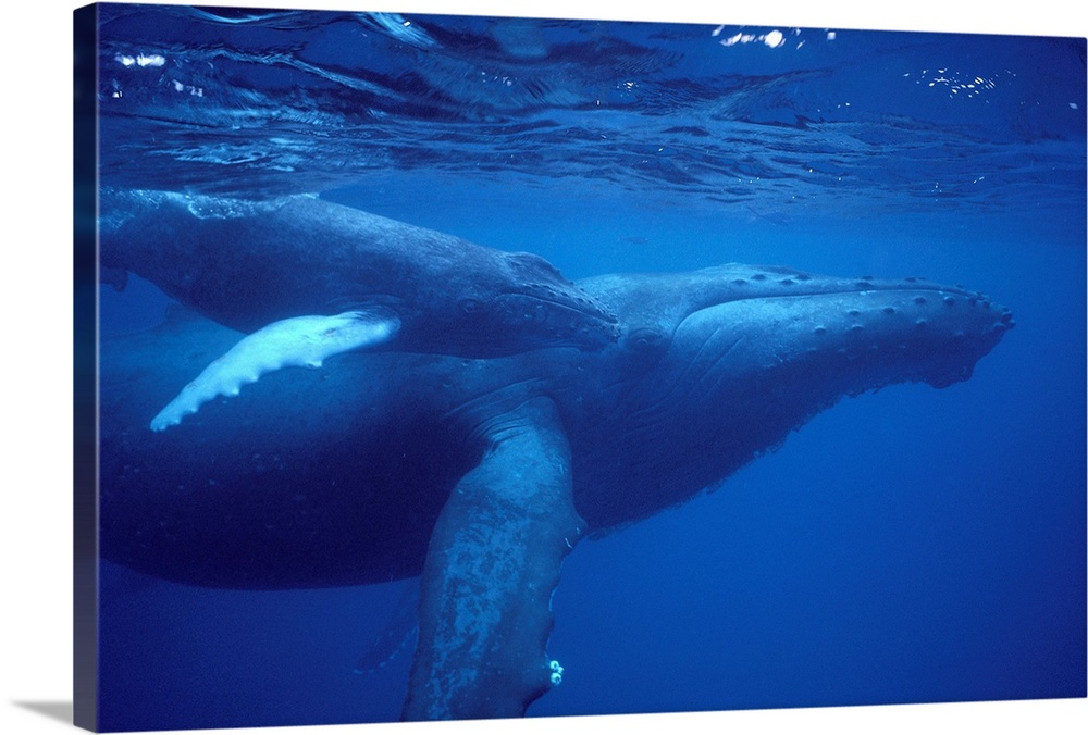 Large Gallery-Wrapped Canvas Wall Art Print 24 x 16 entitled Hawaii, Humpback Whale (Megaptera Novaeangliae) Mother And Calf Gallery-Wrapped Canvas entitled Hawaii Humpback Whale Megaptera Novaeangliae Mother And Calf.  Multiple sizes available.  Primary colors within this image include Dark Blue Sky Blue Black.  Made in the USA.  Satisfaction guaranteed.  Inks used are latex-based and designed to last.  Canvas is acid-free and 20 millimeters thick.  Museum-quality artist-grade canvas mounted on sturdy wooden stretcher bars 1.5 thick.  Comes ready to hang.