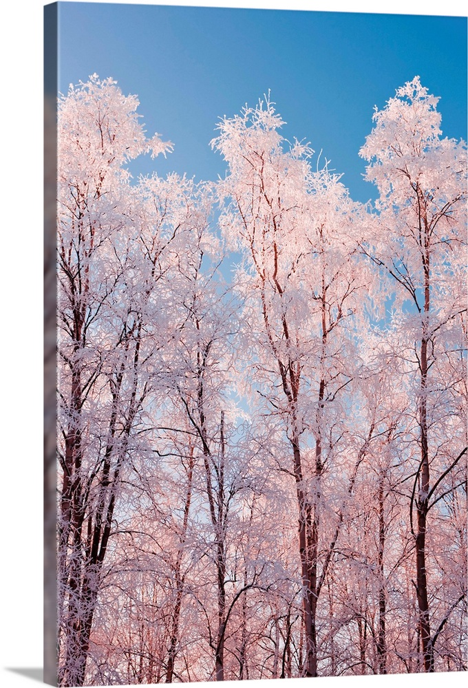 Large Solid-Faced Canvas Print Wall Art Print 20 x 30 entitled Hoarfrost covered birch trees in Russian Jack Park, Anchora... Solid-Faced Canvas Print entitled Hoarfrost covered birch trees in Russian Jack Park, Anchorage, Alaska.  Hoarfrost covered birch trees, Winter, Russian Jack Park, Anchorage, Alaska.  Multiple sizes available.  Primary colors within this image include Black, Light Gray, White, Royal Blue.  Made in USA.  All products come with a 365 day workmanship guarantee.  Archival-quality UV-resistant inks.  Canvas depth is 1.25 and includes a finished backing with pre-installed hanging hardware.  Canvas is handcrafted and made-to-order in the United States using high quality artist-grade canvas.