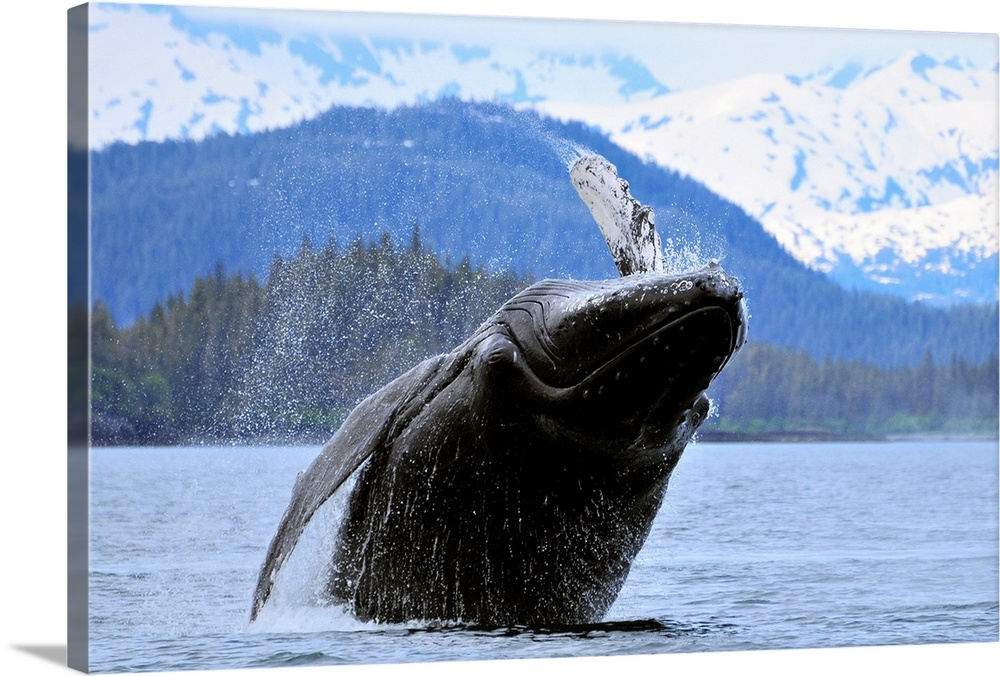 Large Solid-Faced Canvas Print Wall Art Print 30 x 20 entitled Humpback wale breaching in Prince William Sound, Alaska Solid-Faced Canvas Print entitled Humpback wale breaching in Prince William Sound, Alaska.  Multiple sizes available.  Primary colors within this image include Black, Gray, Pale Blue, Royal Blue.  Made in USA.  Satisfaction guaranteed.  Archival-quality UV-resistant inks.  Canvas is handcrafted and made-to-order in the United States using high quality artist-grade canvas.  Archival inks prevent fading and preserve as much fine detail as possible with no over-saturation or color shifting.