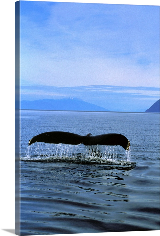 Large Solid-Faced Canvas Print Wall Art Print 20 x 30 entitled Humpback Whales Tail, Southeast Alaska Solid-Faced Canvas Print entitled Humpback Whales Tail, Southeast Alaska.  Multiple sizes available.  Primary colors within this image include Sky Blue, Black, Muted Blue.  Made in USA.  All products come with a 365 day workmanship guarantee.  Inks used are latex-based and designed to last.  Canvas is handcrafted and made-to-order in the United States using high quality artist-grade canvas.  Canvas depth is 1.25 and includes a finished backing with pre-installed hanging hardware.