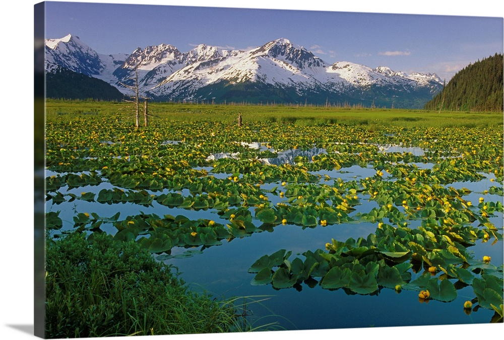 Large Solid-Faced Canvas Print Wall Art Print 30 x 20 entitled Lily Pads in Bloom on Wetlands Chugach NF SC AK Summer Chug... Solid-Faced Canvas Print entitled Lily Pads in Bloom on Wetlands Chugach NF SC AK Summer Chugach Mtns.  Multiple sizes available.  Primary colors within this image include Dark Yellow, Light Yellow, Black, Gray Blue.  Made in the USA.  Satisfaction guaranteed.  Archival-quality UV-resistant inks.  Canvas is handcrafted and made-to-order in the United States using high quality artist-grade canvas.  Featuring a proprietary design, our canvases produce the tightest corners without any bubbles, ripples, or bumps and will not warp or sag over time.