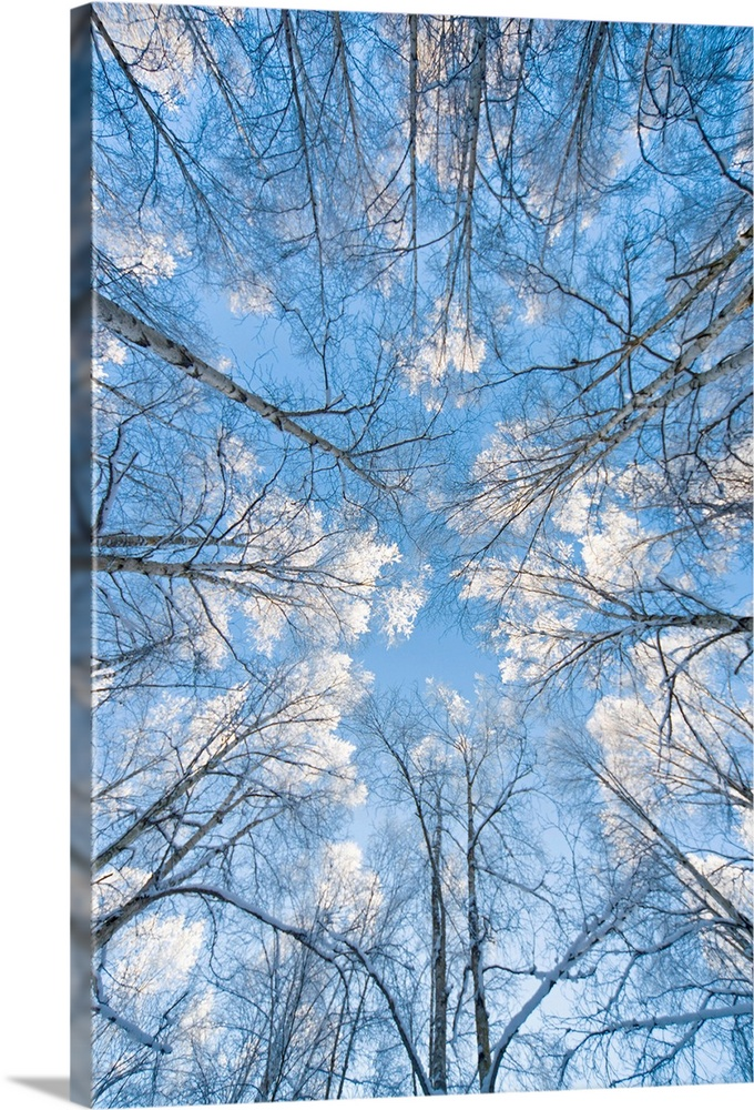 Large Solid-Faced Canvas Print Wall Art Print 20 x 30 entitled Looking up through hoarfrost covered birch trees in Russian... Solid-Faced Canvas Print entitled Looking up through hoarfrost covered birch trees in Russian Jack Park, Anchorage, Alaska.  Huge photograph taken from the ground pointing upward shows the tops of bare trees extending into a bright sky scattered with clouds.  Multiple sizes available.  Primary colors within this image include Gray, Pale Blue, Dark Navy Blue.  Made in USA.  Satisfaction guaranteed.  Inks used are latex-based and designed to last.  Canvas is handcrafted and made-to-order in the United States using high quality artist-grade canvas.  Canvas depth is 1.25 and includes a finished backing with pre-installed hanging hardware.