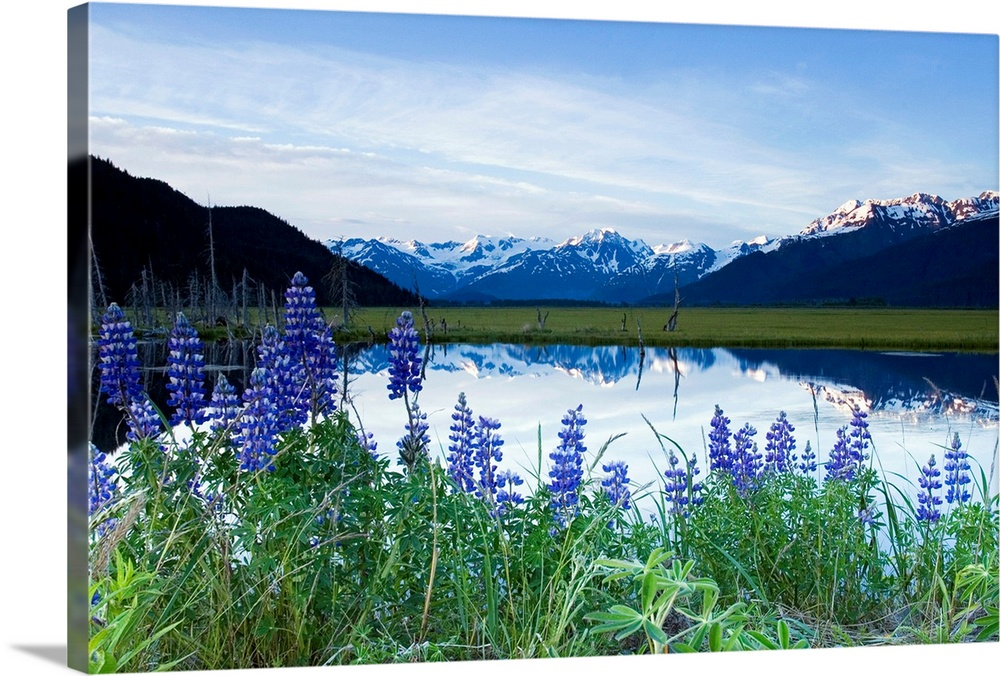 Large Solid-Faced Canvas Print Wall Art Print 30 x 20 entitled Lupine Blooms Along Pond 20 Mile River Valley AK SC Summer ... Solid-Faced Canvas Print entitled Lupine Blooms Along Pond 20 Mile River Valley AK SC Summer Chugach Mtns.  Multiple sizes available.  Primary colors within this image include Forest Green, Sky Blue, Black, Royal Blue.  Made in USA.  Satisfaction guaranteed.  Inks used are latex-based and designed to last.  Canvas is handcrafted and made-to-order in the United States using high quality artist-grade canvas.  Canvas depth is 1.25 and includes a finished backing with pre-installed hanging hardware.