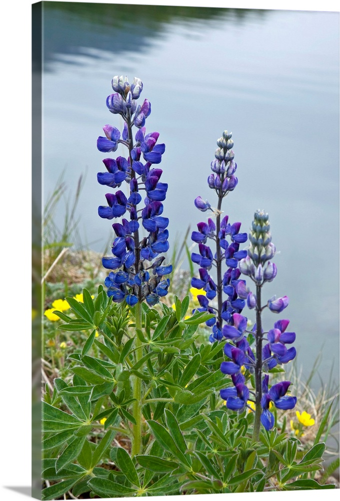 Large Solid-Faced Canvas Print Wall Art Print 20 x 30 entitled Lupine flowers, Southwest Alaska, Summer Solid-Faced Canvas Print entitled Lupine flowers, Southwest Alaska, Summer.  Multiple sizes available.  Primary colors within this image include Yellow, Forest Green, Dark Blue, Silver.  Made in USA.  All products come with a 365 day workmanship guarantee.  Inks used are latex-based and designed to last.  Canvas is handcrafted and made-to-order in the United States using high quality artist-grade canvas.  Canvas depth is 1.25 and includes a finished backing with pre-installed hanging hardware.