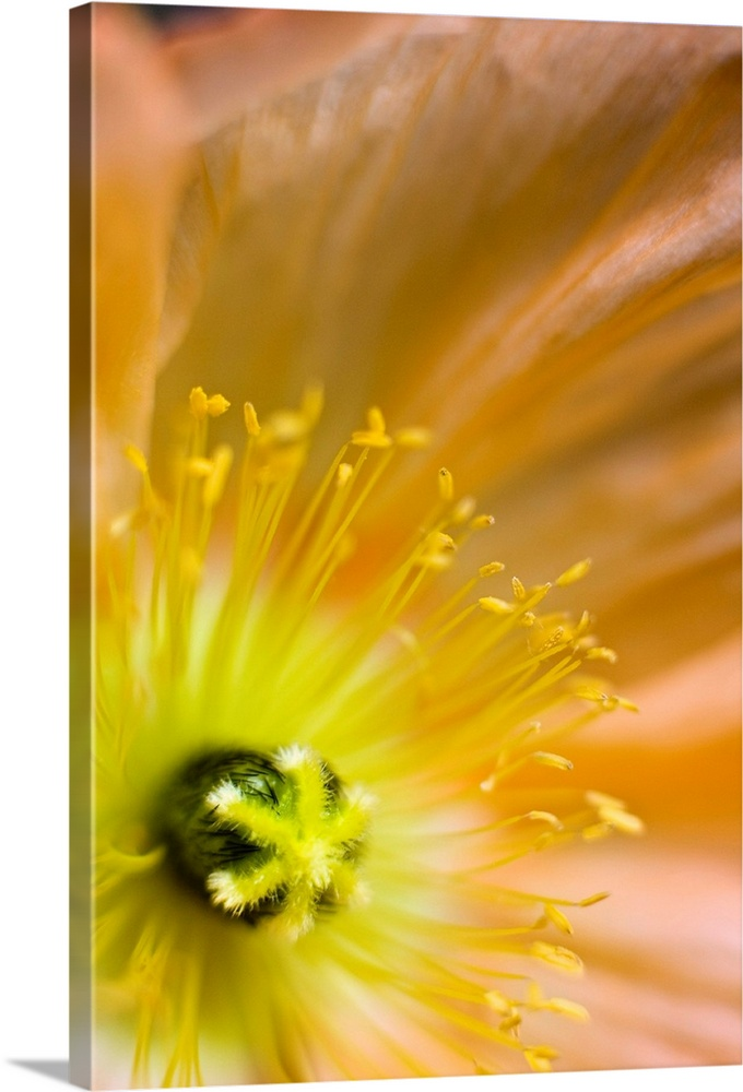 Large Solid-Faced Canvas Print Wall Art Print 20 x 30 entitled Macro of inside an Icelandic poppy during Summer Solid-Faced Canvas Print entitled Macro of inside an Icelandic poppy during Summer.  Close-up of an orange colored Icelandic poppy grown in Anchorage, Alaska.  Multiple sizes available.  Primary colors within this image include Brown, Dark Yellow, Peach, Dark Gray.  Made in USA.  All products come with a 365 day workmanship guarantee.  Inks used are latex-based and designed to last.  Archival inks prevent fading and preserve as much fine detail as possible with no over-saturation or color shifting.  Featuring a proprietary design, our canvases produce the tightest corners without any bubbles, ripples, or bumps and will not warp or sag over time.