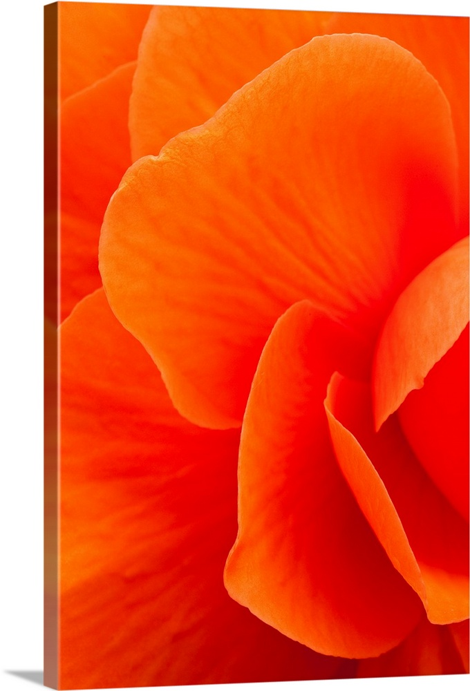 Large Solid-Faced Canvas Print Wall Art Print 20 x 30 entitled Macro view of an orange begonia flower during Summer Solid-Faced Canvas Print entitled Macro view of an orange begonia flower during Summer.  Multiple sizes available.  Primary colors within this image include Orange, Black.  Made in USA.  Satisfaction guaranteed.  Archival-quality UV-resistant inks.  Canvas depth is 1.25 and includes a finished backing with pre-installed hanging hardware.  Featuring a proprietary design, our canvases produce the tightest corners without any bubbles, ripples, or bumps and will not warp or sag over time.