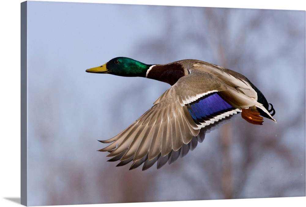 Large Solid-Faced Canvas Print Wall Art Print 30 x 20 entitled Mallard Drake in flight Solid-Faced Canvas Print entitled Mallard Drake in flight.  Multiple sizes available.  Primary colors within this image include Brown, Gray, Dark Forest Green, Pale Blue.  Made in USA.  Satisfaction guaranteed.  Archival-quality UV-resistant inks.  Canvas depth is 1.25 and includes a finished backing with pre-installed hanging hardware.  Canvas is handcrafted and made-to-order in the United States using high quality artist-grade canvas.
