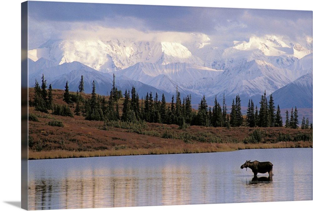 Large Solid-Faced Canvas Print Wall Art Print 30 x 20 entitled Moose Cow in Wonder Lake Denali NP Interior AK Solid-Faced Canvas Print entitled Moose Cow in Wonder Lake Denali NP Interior AK.  Big photograph includes a young calf standing in a calm body of water next to a field scattered with trees.  In the background there is a large mountain range covered with snow and clouds gently rolling over them.  Multiple sizes available.  Primary colors within this image include Black, Gray, Light Gray Blue.  Made in USA.  Satisfaction guaranteed.  Inks used are latex-based and designed to last.  Featuring a proprietary design, our canvases produce the tightest corners without any bubbles, ripples, or bumps and will not warp or sag over time.  Canvas depth is 1.25 and includes a finished backing with pre-installed hanging hardware.