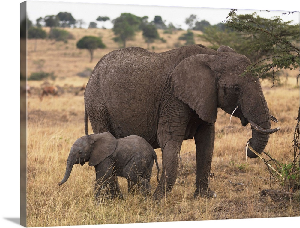 Large Gallery-Wrapped Canvas Wall Art Print 24 x 18 entitled Mother And Baby Elephant Gallery-Wrapped Canvas entitled Mother And Baby Elephant.  Multiple sizes available.  Primary colors within this image include Peach Dark Gray White.  Made in the USA.  All products come with a 365 day workmanship guarantee.  Archival-quality UV-resistant inks.  Canvas frames are built with farmed or reclaimed domestic pine or poplar wood.  Canvases have a UVB protection built in to protect against fading and moisture and are designed to last for over 100 years.