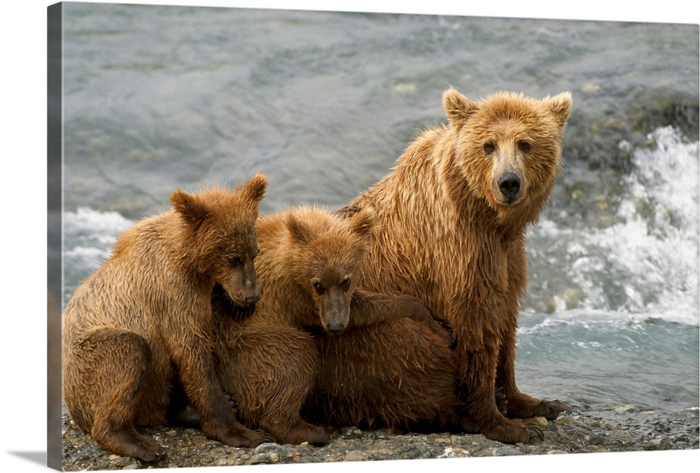 Large Gallery-Wrapped Canvas Wall Art Print 24 x 16 entitled Mother Grizzly With Cubs By River, Southwest Alaska Gallery-Wrapped Canvas entitled Mother Grizzly With Cubs By River Southwest Alaska.  Multiple sizes available.  Primary colors within this image include Light Gray Dark Forest Green.  Made in the USA.  Satisfaction guaranteed.  Archival-quality UV-resistant inks.  Canvases have a UVB protection built in to protect against fading and moisture and are designed to last for over 100 years.  Canvas is a 65 polyester 35 cotton base with two acrylic latex primer basecoats and a semi-gloss inkjet receptive topcoat.