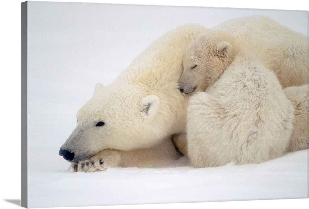 Large Gallery-Wrapped Canvas Wall Art Print 24 x 16 entitled Mother Polar Bear & Cub Huddle in Snow Storm Gallery-Wrapped Canvas entitled Mother Polar Bear  Cub Huddle in Snow Storm.  Mother Polar Bear  Cub Huddle in Snow Storm Churchill Canada Winter.  Multiple sizes available.  Primary colors within this image include Black Gray White.  Made in USA.  Satisfaction guaranteed.  Archival-quality UV-resistant inks.  Canvas is designed to prevent fading.  Canvas frames are built with farmed or reclaimed domestic pine or poplar wood.