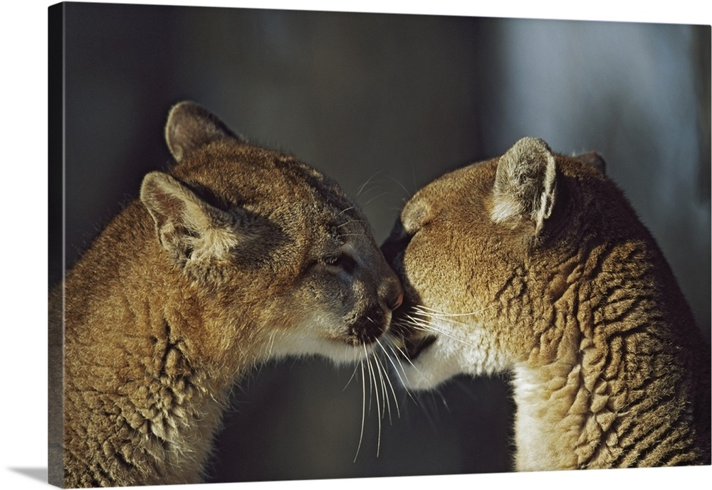 Large Gallery-Wrapped Canvas Wall Art Print 24 x 16 entitled Mountain Lion (Felis Concolor) Cub Nuzzles Mother's Face; Mon... Gallery-Wrapped Canvas entitled Mountain Lion Felis Concolor Cub Nuzzles Mothers Face Montana.  Multiple sizes available.  Primary colors within this image include Dark Gray Light Gray.  Made in the USA.  All products come with a 365 day workmanship guarantee.  Archival-quality UV-resistant inks.  Canvases are stretched across a 1.5 inch thick wooden frame with easy-to-mount hanging hardware.  Canvases have a UVB protection built in to protect against fading and moisture and are designed to last for over 100 years.