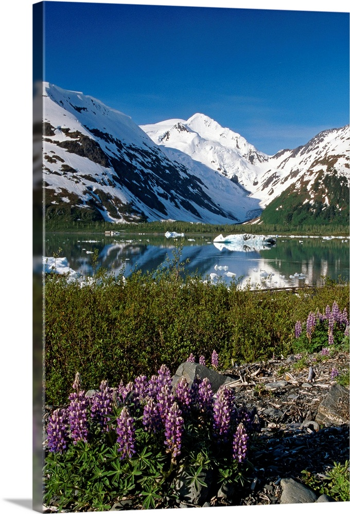 Large Solid-Faced Canvas Print Wall Art Print 20 x 30 entitled Mountain Reflecting in Portage Lake with Lupines SC AK Solid-Faced Canvas Print entitled Mountain Reflecting in Portage Lake with Lupines SC AK.  Multiple sizes available.  Primary colors within this image include Black, White, Dark Forest Green, Royal Blue.  Made in the USA.  All products come with a 365 day workmanship guarantee.  Inks used are latex-based and designed to last.  Canvas depth is 1.25 and includes a finished backing with pre-installed hanging hardware.  Archival inks prevent fading and preserve as much fine detail as possible with no over-saturation or color shifting.