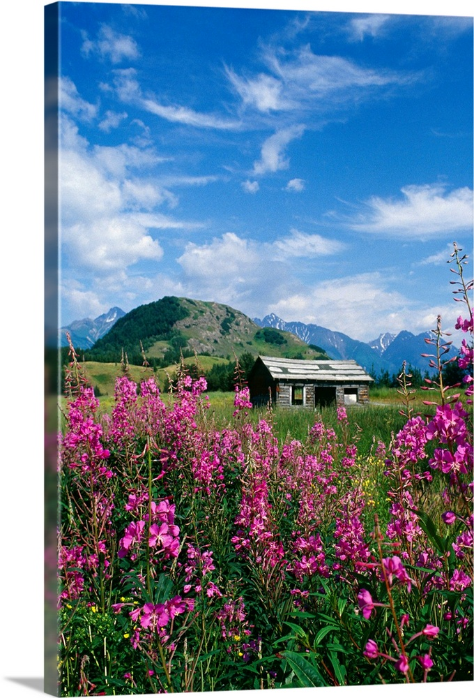 Large Solid-Faced Canvas Print Wall Art Print 20 x 30 entitled Old Cabin in Fireweed, Summer, Alaska Solid-Faced Canvas Print entitled Old Cabin in Fireweed, Summer, Alaska.  Multiple sizes available.  Primary colors within this image include Fuschia, Plum, Dark Forest Green, Royal Blue.  Made in USA.  All products come with a 365 day workmanship guarantee.  Inks used are latex-based and designed to last.  Canvas depth is 1.25 and includes a finished backing with pre-installed hanging hardware.  Featuring a proprietary design, our canvases produce the tightest corners without any bubbles, ripples, or bumps and will not warp or sag over time.