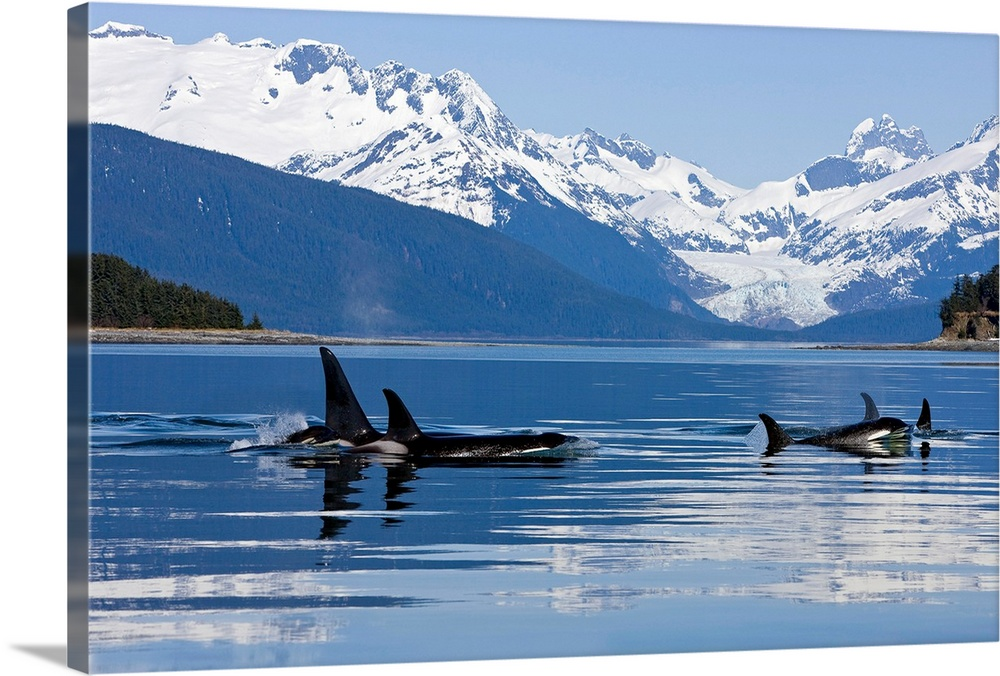 Large Solid-Faced Canvas Print Wall Art Print 30 x 20 entitled Orca surface in Lynn Canal near Juneau with Herbert Glacier... Solid-Faced Canvas Print entitled Orca surface in Lynn Canal near Juneau with Herbert Glacier and Coast Range beyond.  Multiple sizes available.  Primary colors within this image include White, Gray Blue, Dark Navy Blue.  Made in USA.  All products come with a 365 day workmanship guarantee.  Inks used are latex-based and designed to last.  Canvas is handcrafted and made-to-order in the United States using high quality artist-grade canvas.  Featuring a proprietary design, our canvases produce the tightest corners without any bubbles, ripples, or bumps and will not warp or sag over time.
