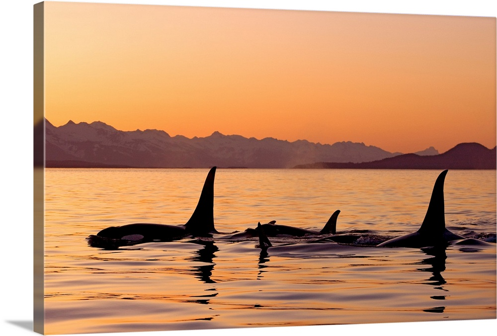 Large Solid-Faced Canvas Print Wall Art Print 30 x 20 entitled Orca Whales surface in Lynn Canal at Sunset with Coast Rang... Solid-Faced Canvas Print entitled Orca Whales surface in Lynn Canal at Sunset with Coast Range in the background, Alaska.  Multiple sizes available.  Primary colors within this image include Brown, Peach, Black, Gray.  Made in USA.  All products come with a 365 day workmanship guarantee.  Inks used are latex-based and designed to last.  Canvas depth is 1.25 and includes a finished backing with pre-installed hanging hardware.  Featuring a proprietary design, our canvases produce the tightest corners without any bubbles, ripples, or bumps and will not warp or sag over time.