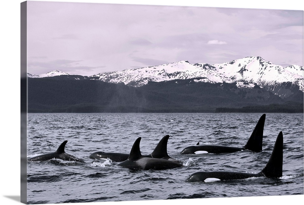 Large Solid-Faced Canvas Print Wall Art Print 30 x 20 entitled Orca Whales surface in Lynn Canal with Chilkat Mountains in... Solid-Faced Canvas Print entitled Orca Whales surface in Lynn Canal with Chilkat Mountains in the distance, Alaska.  Multiple sizes available.  Primary colors within this image include Dark Gray, Silver.  Made in the USA.  Satisfaction guaranteed.  Inks used are latex-based and designed to last.  Featuring a proprietary design, our canvases produce the tightest corners without any bubbles, ripples, or bumps and will not warp or sag over time.  Canvas is handcrafted and made-to-order in the United States using high quality artist-grade canvas.