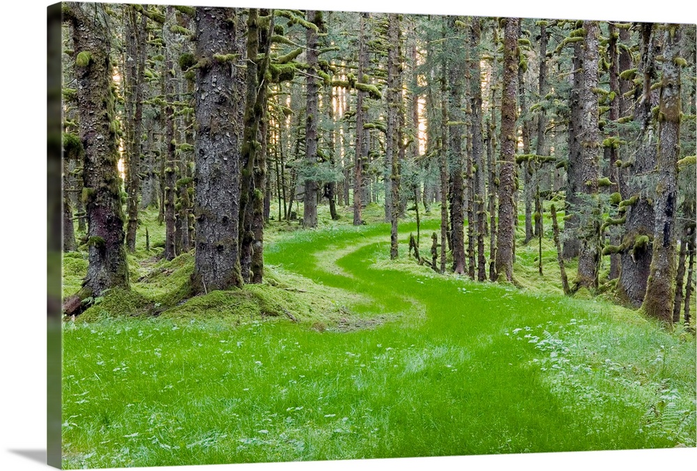Large Solid-Faced Canvas Print Wall Art Print 30 x 20 entitled Overgrown old road through spruce forest covered in moss Ko... Solid-Faced Canvas Print entitled Overgrown old road through spruce forest covered in moss Kodiak Island Southwest Alaska.  Landscape photograph of an overgrown winding road through spruce trees and moss, coastal forest in Kodiak Island, Alaska.  Multiple sizes available.  Primary colors within this image include Forest Green, Black, Gray, Lime Green.  Made in USA.  All products come with a 365 day workmanship guarantee.  Inks used are latex-based and designed to last.  Canvas depth is 1.25 and includes a finished backing with pre-installed hanging hardware.  Archival inks prevent fading and preserve as much fine detail as possible with no over-saturation or color shifting.