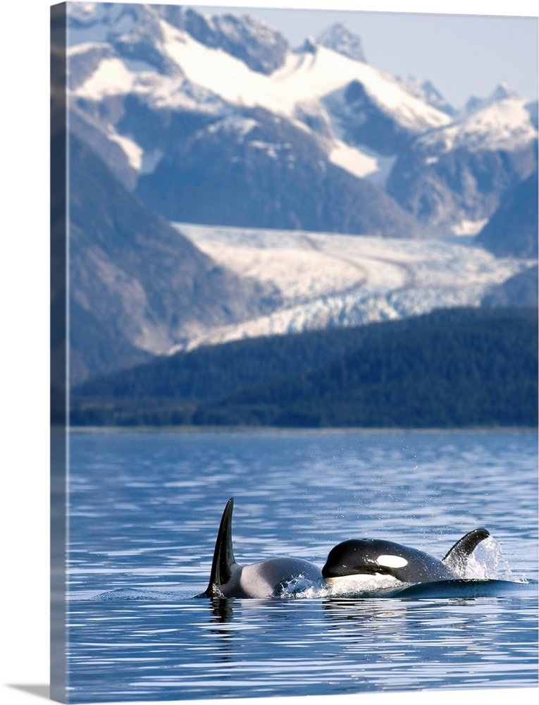 Large Solid-Faced Canvas Print Wall Art Print 30 x 40 entitled Pod of Orca whales surfacing in Favorite Passage of the Lyn... Solid-Faced Canvas Print entitled Pod of Orca whales surfacing in Favorite Passage of the Lynn Canal.  Alaska, Inside passage, two killer whales surface in Favorite Passage near Juneau, Herbert Glacier and Coast Range beyond.  Multiple sizes available.  Primary colors within this image include Dark Gray, White, Gray Blue.  Made in USA.  All products come with a 365 day workmanship guarantee.  Inks used are latex-based and designed to last.  Archival inks prevent fading and preserve as much fine detail as possible with no over-saturation or color shifting.  Featuring a proprietary design, our canvases produce the tightest corners without any bubbles, ripples, or bumps and will not warp or sag over time.