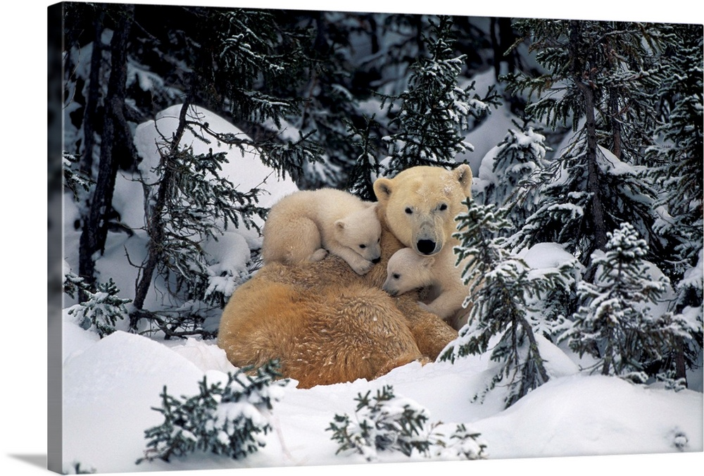 Large Gallery-Wrapped Canvas Wall Art Print 24 x 16 entitled Polar Bear Mother Gallery-Wrapped Canvas entitled Polar Bear Mother .  Multiple sizes available.  Primary colors within this image include Black Gray Silver.  Made in the USA.  All products come with a 365 day workmanship guarantee.  Archival-quality UV-resistant inks.  Canvases have a UVB protection built in to protect against fading and moisture and are designed to last for over 100 years.  Canvas is designed to prevent fading.