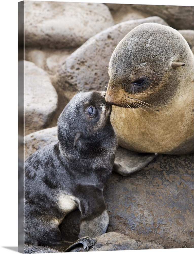 Large Gallery-Wrapped Canvas Wall Art Print 18 x 24 entitled Portrait of a Northern Fur Seal mother and newborn pup St. Pa... Gallery-Wrapped Canvas entitled Portrait of a Northern Fur Seal mother and newborn pup St. Paul Island.  Portrait of a Northern Fur Seal mother and newborn pup St. Paul Island Southwest Alaska Summer.  Multiple sizes available.  Primary colors within this image include Black Gray White.  Made in the USA.  All products come with a 365 day workmanship guarantee.  Inks used are latex-based and designed to last.  Canvas is a 65 polyester 35 cotton base with two acrylic latex primer basecoats and a semi-gloss inkjet receptive topcoat.  Canvases are stretched across a 1.5 inch thick wooden frame with easy-to-mount hanging hardware.