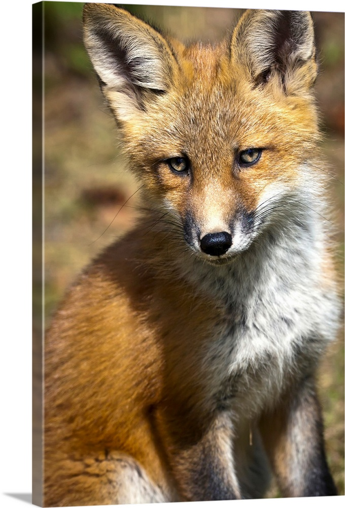 Large Solid-Faced Canvas Print Wall Art Print 20 x 30 entitled Red Fox Kit Looks At Camera From Near Its Den On The Anchor... Solid-Faced Canvas Print entitled Red Fox Kit Looks At Camera From Near Its Den On The Anchorage Hillside, Alaska.  Multiple sizes available.  Primary colors within this image include Brown, Peach, Dark Gray, Light Gray.  Made in the USA.  Satisfaction guaranteed.  Archival-quality UV-resistant inks.  Canvas is handcrafted and made-to-order in the United States using high quality artist-grade canvas.  Canvas depth is 1.25 and includes a finished backing with pre-installed hanging hardware.