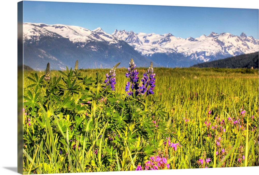Large Solid-Faced Canvas Print Wall Art Print 30 x 20 entitled Scenic view of a wildflower meadow and mountains near Haine... Solid-Faced Canvas Print entitled Scenic view of a wildflower meadow and mountains near Haines, Alaska during Summer.  Multiple sizes available.  Primary colors within this image include Dark Yellow, Light Purple, Black, White.  Made in the USA.  All products come with a 365 day workmanship guarantee.  Inks used are latex-based and designed to last.  Canvas is handcrafted and made-to-order in the United States using high quality artist-grade canvas.  Canvas depth is 1.25 and includes a finished backing with pre-installed hanging hardware.