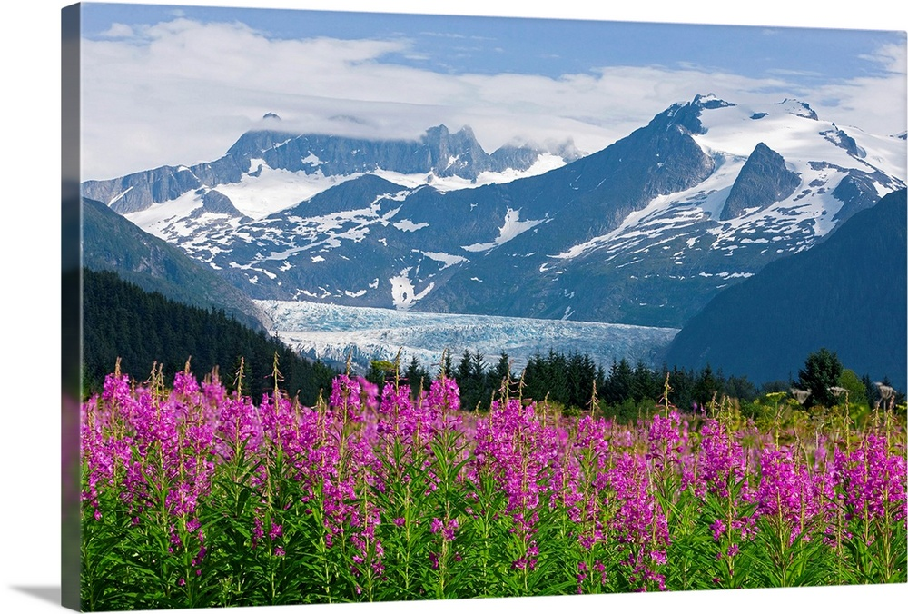 Large Solid-Faced Canvas Print Wall Art Print 30 x 20 entitled Scenic view of Mendenhall Glacier with Fireweed, Tongass Na... Solid-Faced Canvas Print entitled Scenic view of Mendenhall Glacier with Fireweed, Tongass National Forest.  Landscape, large photograph of Fireweed in the foreground, snow covered Mendenhall Glacier in the background, in Tongass National Park, in Juneau, Alaska.  Multiple sizes available.  Primary colors within this image include Forest Green, Plum, Light Purple, Black.  Made in USA.  Satisfaction guaranteed.  Inks used are latex-based and designed to last.  Archival inks prevent fading and preserve as much fine detail as possible with no over-saturation or color shifting.  Canvas depth is 1.25 and includes a finished backing with pre-installed hanging hardware.