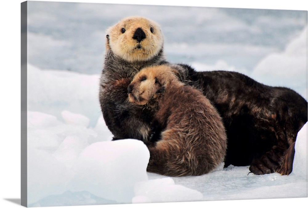 Large Gallery-Wrapped Canvas Wall Art Print 24 x 16 entitled Sea Otter mother and pup rest on an ice floe at Harvard Glaci... Gallery-Wrapped Canvas entitled Sea Otter mother and pup rest on an ice floe at Harvard Glacier in Prince William Sound.  Multiple sizes available.  Primary colors within this image include Dark Gray Gray Silver.  Made in USA.  All products come with a 365 day workmanship guarantee.  Archival-quality UV-resistant inks.  Canvases have a UVB protection built in to protect against fading and moisture and are designed to last for over 100 years.  Canvas is acid-free and 20 millimeters thick.