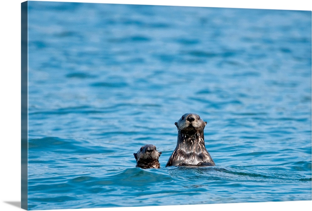 Large Solid-Faced Canvas Print Wall Art Print 30 x 20 entitled Sea otters swimming in the waters of Bristol Bay during Sum... Solid-Faced Canvas Print entitled Sea otters swimming in the waters of Bristol Bay during Summer in Southwest, Alaska.  Multiple sizes available.  Primary colors within this image include Gray, Gray Blue, Dark Navy Blue.  Made in USA.  All products come with a 365 day workmanship guarantee.  Inks used are latex-based and designed to last.  Canvas depth is 1.25 and includes a finished backing with pre-installed hanging hardware.  Featuring a proprietary design, our canvases produce the tightest corners without any bubbles, ripples, or bumps and will not warp or sag over time.
