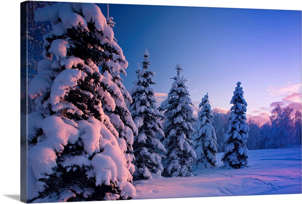 Large Solid-Faced Canvas Print Wall Art Print 30 x 20 entitled Snow covered spruce trees at sunset with pink alpenglow, Ru... Solid-Faced Canvas Print entitled Snow covered spruce trees at sunset with pink alpenglow, Russian Jack Park, Anchorage.  Multiple sizes available.  Primary colors within this image include Sky Blue, Black, Silver, Muted Blue.  Made in the USA.  Satisfaction guaranteed.  Archival-quality UV-resistant inks.  Canvas depth is 1.25 and includes a finished backing with pre-installed hanging hardware.  Canvas is handcrafted and made-to-order in the United States using high quality artist-grade canvas.