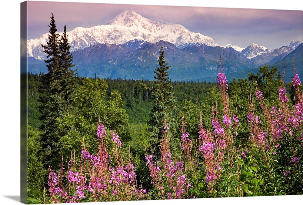 Large Solid-Faced Canvas Print Wall Art Print 30 x 20 entitled Southside view of Mt.McKinley with fireweed Southcentral Al... Solid-Faced Canvas Print entitled Southside view of Mt.McKinley with fireweed Southcentral Alaska along Parks Highway.  A photograph taken of a large forest with lots of pine trees and wild flowers in the foreground. Snow capped mountains can be seen in the distance.  Multiple sizes available.  Primary colors within this image include Dark Yellow, Light Purple, Black, White.  Made in the USA.  Satisfaction guaranteed.  Archival-quality UV-resistant inks.  Canvas depth is 1.25 and includes a finished backing with pre-installed hanging hardware.  Featuring a proprietary design, our canvases produce the tightest corners without any bubbles, ripples, or bumps and will not warp or sag over time.