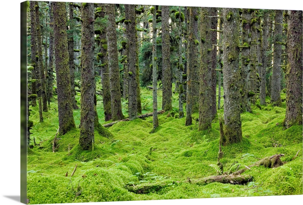 Large Solid-Faced Canvas Print Wall Art Print 30 x 20 entitled Spruce forest & moss near coast Kodiak Island Southwest Alask Solid-Faced Canvas Print entitled Spruce forest  moss near coast Kodiak Island Southwest Alaska.  Spruce trees and Moss, coastal forest, Kodiak Island, Alaska USA.  Multiple sizes available.  Primary colors within this image include Forest Green, Black, White, Lime Green.  Made in USA.  All products come with a 365 day workmanship guarantee.  Inks used are latex-based and designed to last.  Featuring a proprietary design, our canvases produce the tightest corners without any bubbles, ripples, or bumps and will not warp or sag over time.  Canvas is handcrafted and made-to-order in the United States using high quality artist-grade canvas.