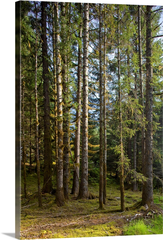 Large Solid-Faced Canvas Print Wall Art Print 20 x 30 entitled Spruce Tree forest in Autumn, Kodiak Island, Southwest Alaska Solid-Faced Canvas Print entitled Spruce Tree forest in Autumn, Kodiak Island, Southwest Alaska.  Multiple sizes available.  Primary colors within this image include Dark Yellow, Dark Forest Green, Pale Blue, Gray Blue.  Made in USA.  All products come with a 365 day workmanship guarantee.  Inks used are latex-based and designed to last.  Canvas depth is 1.25 and includes a finished backing with pre-installed hanging hardware.  Canvas is handcrafted and made-to-order in the United States using high quality artist-grade canvas.