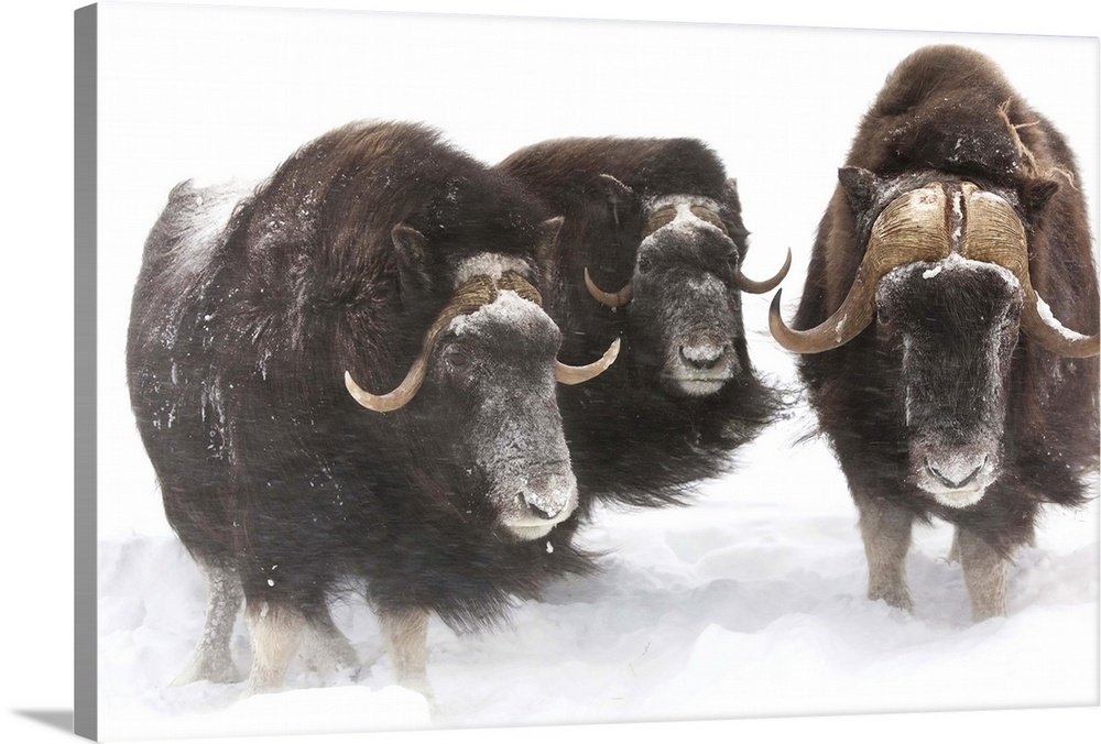 Large Gallery-Wrapped Canvas Wall Art Print 24 x 16 entitled Three Musk Ox stand in deep snow during a winter storm Gallery-Wrapped Canvas entitled Three Musk Ox stand in deep snow during a winter storm.  A bull muskoxen and 2 cows look at camera during a winter storm of swirling snow.  Captive.  Southcentral Alaska.  Good white snow background. Photoshopped to remove hay from muskoxens coats.  Multiple sizes available.  Primary colors within this image include Dark Gray White.  Made in USA.  Satisfaction guaranteed.  Inks used are latex-based and designed to last.  Canvas is designed to prevent fading.  Canvas is a 65 polyester 35 cotton base with two acrylic latex primer basecoats and a semi-gloss inkjet receptive topcoat.