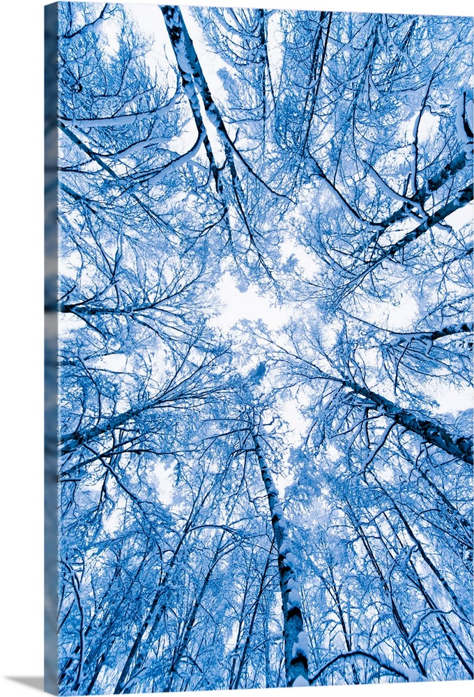 Large Solid-Faced Canvas Print Wall Art Print 20 x 30 entitled Tree top abstract of a snow covered Birch forest, winter, A... Solid-Faced Canvas Print entitled Tree top abstract of a snow covered Birch forest, winter, Anchorage, Alaska.  Photograph from the bottom of a forest looking up from the ground to the tree tops on a snowy day in Anchorage, Alaska AK.  Multiple sizes available.  Primary colors within this image include White, Royal Blue, Dark Navy Blue.  Made in the USA.  All products come with a 365 day workmanship guarantee.  Archival-quality UV-resistant inks.  Featuring a proprietary design, our canvases produce the tightest corners without any bubbles, ripples, or bumps and will not warp or sag over time.  Archival inks prevent fading and preserve as much fine detail as possible with no over-saturation or color shifting.