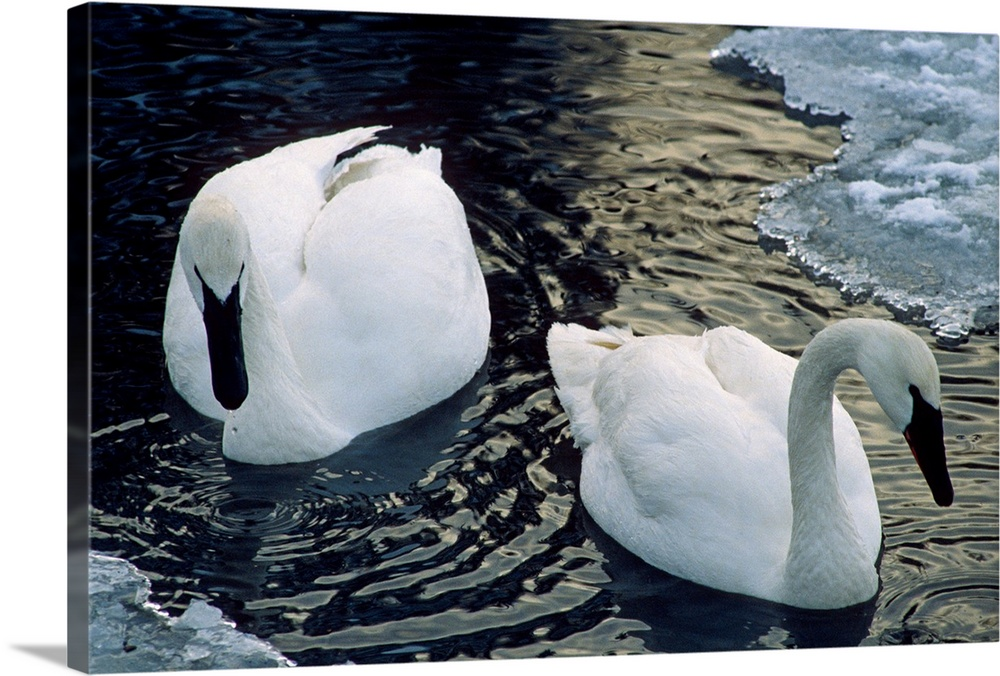 Large Solid-Faced Canvas Print Wall Art Print 30 x 20 entitled Trumpeter Swans Swim in Ice Covered Pond Alaska Solid-Faced Canvas Print entitled Trumpeter Swans Swim in Ice Covered Pond Alaska.  Multiple sizes available.  Primary colors within this image include Black, Gray, White.  Made in the USA.  Satisfaction guaranteed.  Archival-quality UV-resistant inks.  Canvas is handcrafted and made-to-order in the United States using high quality artist-grade canvas.  Canvas depth is 1.25 and includes a finished backing with pre-installed hanging hardware.