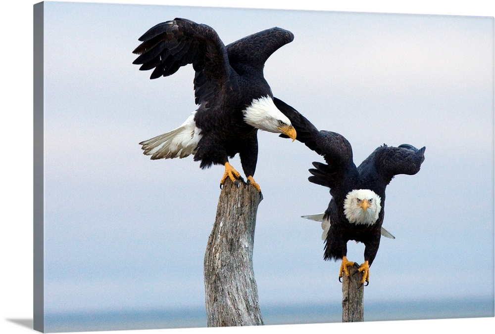 Large Solid-Faced Canvas Print Wall Art Print 30 x 20 entitled Two Bald Eagles perched on driftwood near Homer, Alaska, Ke... Solid-Faced Canvas Print entitled Two Bald Eagles perched on driftwood near Homer, Alaska, Kenai Peninsula, Winter.  Multiple sizes available.  Primary colors within this image include Peach, Black, Gray, Silver.  Made in USA.  All products come with a 365 day workmanship guarantee.  Archival-quality UV-resistant inks.  Canvas depth is 1.25 and includes a finished backing with pre-installed hanging hardware.  Canvas is handcrafted and made-to-order in the United States using high quality artist-grade canvas.