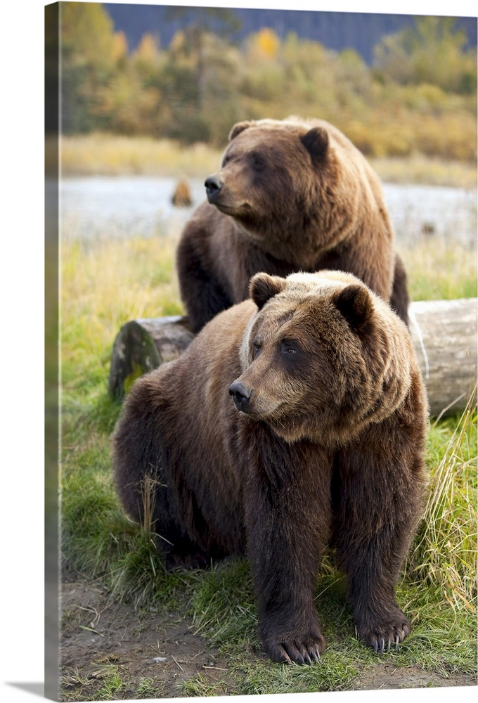 Large Solid-Faced Canvas Print Wall Art Print 20 x 30 entitled Two Brown bears sitting near log at the Alaska Wildlife Con... Solid-Faced Canvas Print entitled Two Brown bears sitting near log at the Alaska Wildlife Conservation Center.  Two Brown bears sitting near log at the Alaska Wildlife Conservation Center, Southcentral Alaska.  Multiple sizes available.  Primary colors within this image include Dark Yellow, Light Yellow, Dark Gray, White.  Made in USA.  All products come with a 365 day workmanship guarantee.  Inks used are latex-based and designed to last.  Featuring a proprietary design, our canvases produce the tightest corners without any bubbles, ripples, or bumps and will not warp or sag over time.  Canvas is handcrafted and made-to-order in the United States using high quality artist-grade canvas.