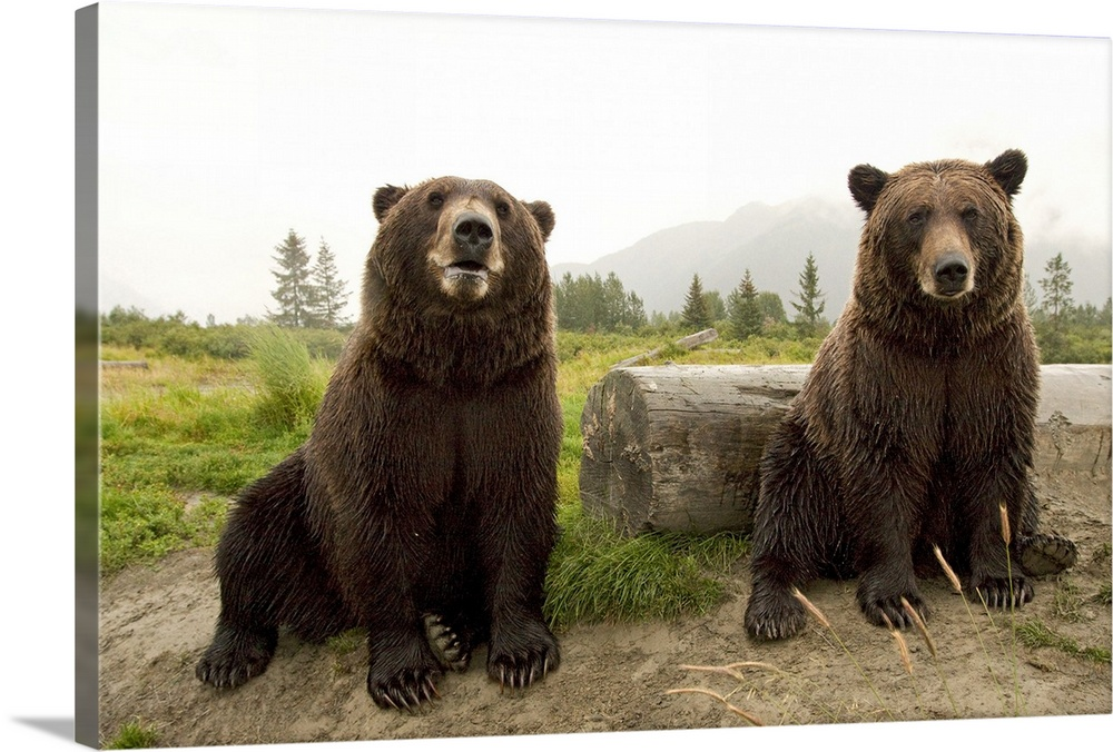 Large Solid-Faced Canvas Print Wall Art Print 30 x 20 entitled Two Brown bears sitting near log at the Alaska Wildlife Con... Solid-Faced Canvas Print entitled Two Brown bears sitting near log at the Alaska Wildlife Conservation Center.  Two Brown bears sitting near log at the Alaska Wildlife Conservation Center, Southcentral Alaska.  Multiple sizes available.  Primary colors within this image include Dark Yellow, Black, Gray, White.  Made in the USA.  All products come with a 365 day workmanship guarantee.  Inks used are latex-based and designed to last.  Canvas is handcrafted and made-to-order in the United States using high quality artist-grade canvas.  Featuring a proprietary design, our canvases produce the tightest corners without any bubbles, ripples, or bumps and will not warp or sag over time.
