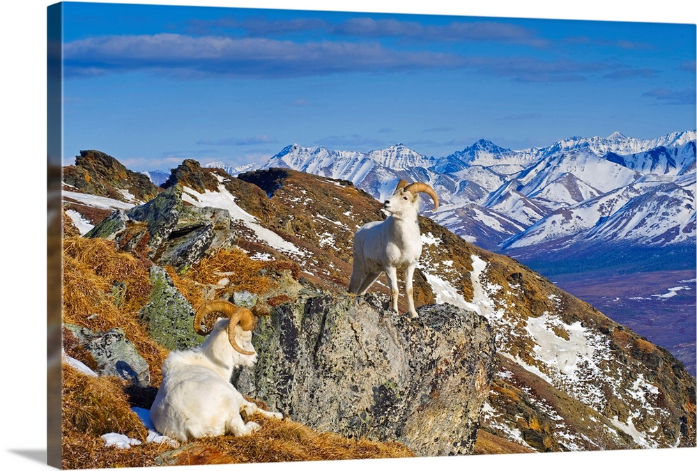 Large Solid-Faced Canvas Print Wall Art Print 30 x 20 entitled Two Dall sheep rams resting on a ridge in Denali National P... Solid-Faced Canvas Print entitled Two Dall sheep rams resting on a ridge in Denali National Park, Alaska.  Multiple sizes available.  Primary colors within this image include Brown, Peach, Pale Blue, Royal Blue.  Made in the USA.  All products come with a 365 day workmanship guarantee.  Inks used are latex-based and designed to last.  Archival inks prevent fading and preserve as much fine detail as possible with no over-saturation or color shifting.  Featuring a proprietary design, our canvases produce the tightest corners without any bubbles, ripples, or bumps and will not warp or sag over time.