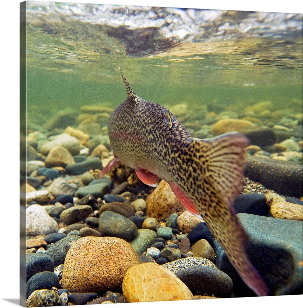 Large Solid-Faced Canvas Print Wall Art Print 20 x 20 entitled Underwater view of a rainbow trout swimming upstream in Mon... Solid-Faced Canvas Print entitled Underwater view of a rainbow trout swimming upstream in Montana Creek, Alaska.  Multiple sizes available.  Primary colors within this image include Forest Green, Peach, White, Dark Forest Green.  Made in the USA.  All products come with a 365 day workmanship guarantee.  Inks used are latex-based and designed to last.  Featuring a proprietary design, our canvases produce the tightest corners without any bubbles, ripples, or bumps and will not warp or sag over time.  Canvas is handcrafted and made-to-order in the United States using high quality artist-grade canvas.